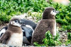 Пингвин Magellanic Стоковые Изображения RF