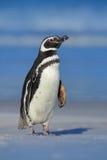Пингвин Magellanic, magellanicus spheniscus, на пляже с белым песком, океанская волна на заднем плане, Фолклендские острова Пингв Стоковое Фото