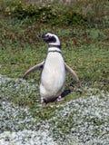 Пингвин Magellanic (magellanicus spheniscus) Стоковое Изображение