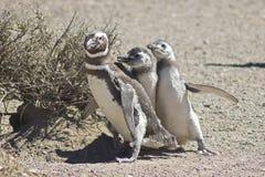 Пингвин Magellanic, Punta Tombo, Аргентина Стоковые Изображения RF