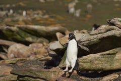 Пингвин Rockhopper скача - Фолклендские острова Стоковая Фотография