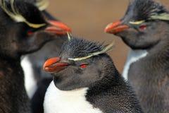 Пингвин Rockhopper, Фолклендские острова стоковые изображения rf