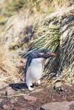 Пингвин Rockhopper (chrysocome хохлатого пингвина) идя в колонию Стоковые Изображения RF