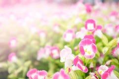 Пинг-красный цветок в саде на день валентинки и счастливый день Стоковая Фотография RF