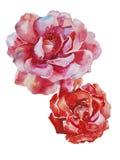 2 пинка и изолированное искусство акварели цветков красных роз первоначально Стоковые Изображения RF