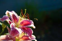 Пинка цветение lilly Стоковая Фотография