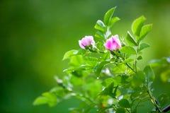 пинк бутонов поднял Зацветая дикая роза на крупном плане ветвей предпосылка совершенно запачкана стоковое фото