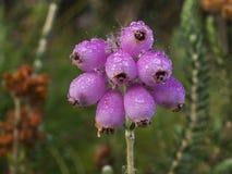 пинк вереска цветков колокола Стоковые Изображения RF