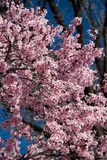 пинк вишни цветений Стоковое фото RF