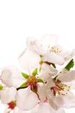 пинк вишни цветения Стоковая Фотография