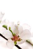 пинк вишни цветения стоковая фотография rf