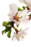 пинк вишни цветения Стоковое Изображение