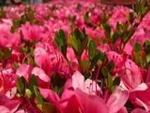 Пинк в цвете стоковое изображение rf