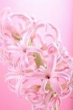 пинк гиацинта цветка Стоковая Фотография