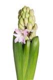 пинк гиацинта цветка Стоковые Изображения