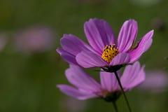 пинк детали хризантемы предпосылки Стоковая Фотография RF