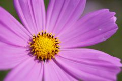 пинк детали хризантемы предпосылки Стоковое фото RF