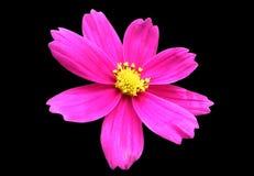 пинк изолированный цветком Стоковые Фото