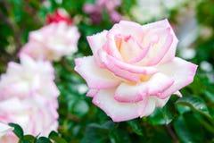 Пинк и белая роза на зеленой предпосылке leavesnature Стоковое Изображение