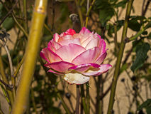 Пинк и белая роза в саде Стоковые Изображения RF