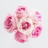Пинк и белая роза Стоковое Изображение