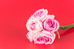 Пинк и белая роза Стоковое фото RF