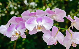 Пинк и белизна лаванды фаленопсиса орхидеи сумеречницы Стоковое Изображение RF