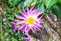 Пинк и белизна цветка георгина Стоковое Фото
