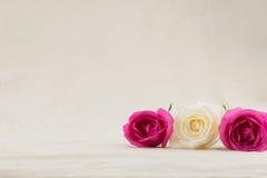 Пинк и белые розы на белом муслине Стоковая Фотография RF