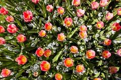 Пинк и желтые тюльпаны весны в Амстердаме начиная расцветать увиденный от перспективы взгляда сверху сверху стоковые фото