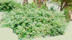 Пинк и желтые цветки на кустовидном заводе стоковая фотография