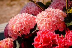 Пинк и красные цветки в цветени на садах Frederik Meijer стоковое изображение rf