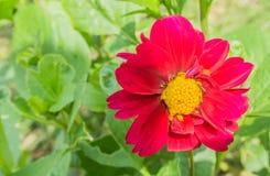 Пинк и красный большой blossoming конец макроса цветка космоса вверх стоковая фотография rf