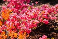 Пинк и оранжевые цветя кусты в японском саде на садах Frederik Meijer в Гранд-Рапидсе Мичигане стоковая фотография rf