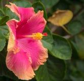 Пинк и оранжевый гаваиский гибискус стоковая фотография rf