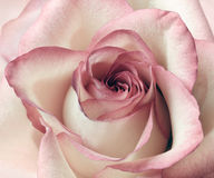 Пинк и предпосылка белой розы Стоковые Изображения