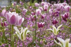 Пинк и пурпурные тюльпаны цвести весной стоковая фотография