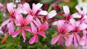 Пинк каскада пеларгонии плюща, розовые цветки гераниума, предпосылка макроса стоковые фото