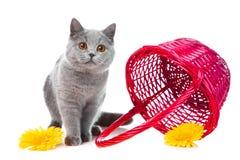 пинк котенка корзины голубой великобританский Стоковая Фотография RF