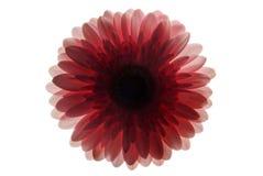 пинк крупного плана изолированный цветком Стоковые Фотографии RF
