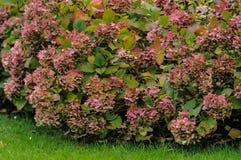 Пинк куста Hortensia цветет конец-вверх в осени Стоковые Изображения