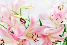 пинк лилии предпосылки Стоковые Фотографии RF