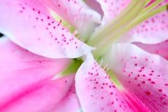 пинк лилии Стоковые Изображения