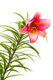 пинк лилии Стоковая Фотография RF
