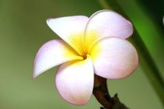 пинк макроса цветка стоковая фотография rf