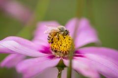 пинк меда цветка пчелы Стоковые Изображения