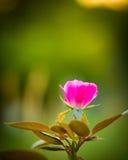 Пинк младенца Роза Стоковые Фото