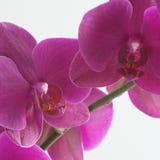 пинк орхидеи Стоковое фото RF