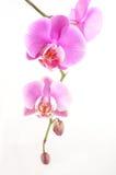 пинк орхидеи Стоковые Изображения