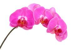 пинк орхидеи стоковое изображение rf